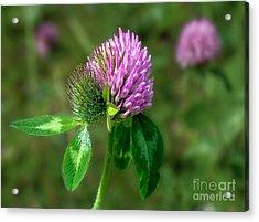 Clover - Wildflower Acrylic Print by Henry Kowalski