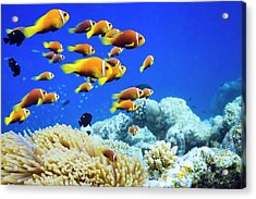 Clown Fish In Anemone Acrylic Print by Cinoby