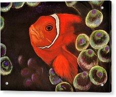 Clown Fish In Hiding  Pastel Acrylic Print by Antonia Citrino