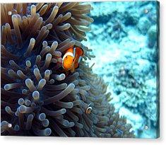 Clownfish Borneo Acrylic Print by Laura Hiesinger
