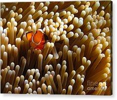 Clownfish Hiding In Coral Garden Acrylic Print by Fototrav Print