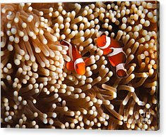 Clownfish In Coral  Acrylic Print by Fototrav Print