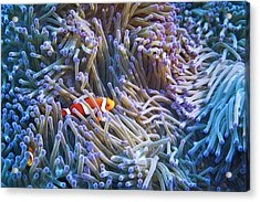 Clownfishes Acrylic Print
