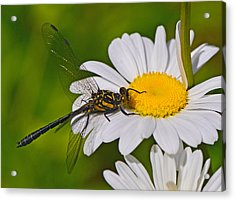 Clubtail Dragonfly On Oxeye Daisy Acrylic Print