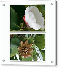 Clusia Rosea - Clusia Major - Autograph Tree - Maui Hawaii Acrylic Print by Sharon Mau