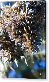 Clustering Monarch Butterflies Acrylic Print by Patricia Sanders