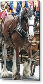 Clydesdale On Parade  Acrylic Print