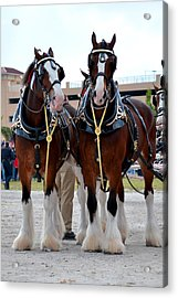 Acrylic Print featuring the photograph Clydesdales 3 by Amanda Vouglas