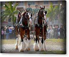 Acrylic Print featuring the photograph Clydesdales 4 by Amanda Vouglas