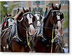 Acrylic Print featuring the photograph Clydesdales by Amanda Vouglas