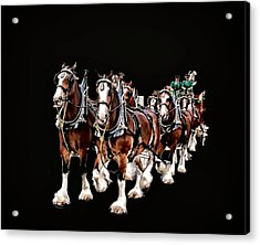Clydesdales Hitch Acrylic Print by Constantine Gregory