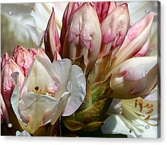 Coast Rhododendron Acrylic Print