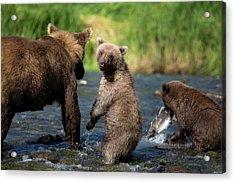 Coastal Brown Bear Family Acrylic Print by Justinreznick