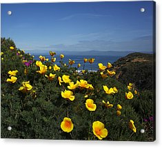 Coastal California Poppies Acrylic Print