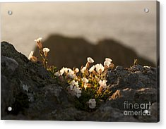 Coastal Sea Campion Acrylic Print