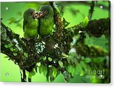 Cobalt-winged Parakeets Acrylic Print