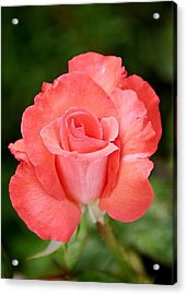 Cobra Rose  Acrylic Print by Christine Till