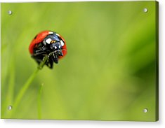 Coccinellidae  Acrylic Print