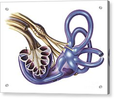 Cochlea Detail With Vestibulocochlear Acrylic Print