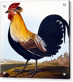 Cock Acrylic Print by CLE Perrott