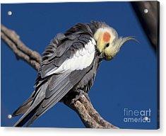 Cockatiel - Canberra - Australia Acrylic Print