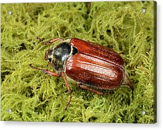 Cockchafer Acrylic Print by Nigel Downer