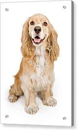Cocker Spaniel Dog Isolated On White Acrylic Print by Susan Schmitz