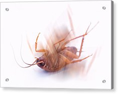 Cockroach Acrylic Print by Gustoimages/science Photo Library