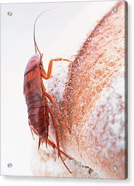 Cockroach On Bread Acrylic Print by Gustoimages/science Photo Library