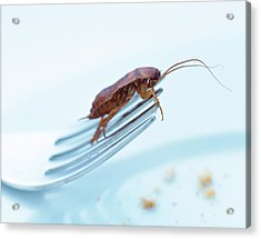 Cockroach On Fork Acrylic Print by Gustoimages/science Photo Library