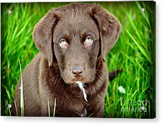 Coco  Acrylic Print by Mindy Bench