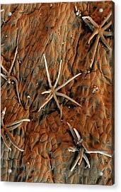 Cocoa Tree Trichomes Acrylic Print by Stefan Diller