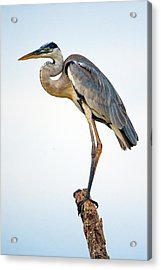 Cocoi Heron Ardea Cocoi, Pantanal Acrylic Print by Panoramic Images