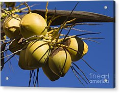 Acrylic Print featuring the photograph Coconut 1 by Teresa Zieba