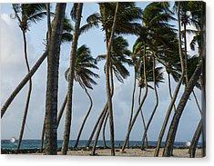 Coconut Palm (cocos Nucifera Acrylic Print by Pete Oxford