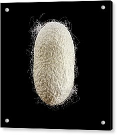 Cocoon Of Silk Acrylic Print by Science Photo Library