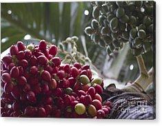 Cocos Nucifera - Niu Mikihilina - Palma - Niu - Arecaceae -  Palmae Acrylic Print by Sharon Mau