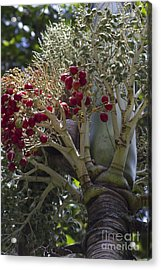 Cocos Nucifera - Niu Mikihilina - Palma Acrylic Print by Sharon Mau