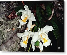 Coelogyne Cristata Epiphytic Orchid Acrylic Print
