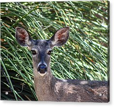 Acrylic Print featuring the photograph Coes Deer by Elaine Malott