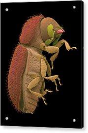 Coffee Berry Borer Acrylic Print by Dennis Kunkel Microscopy/science Photo Library