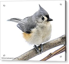 Cold But Tough Titmouse Acrylic Print
