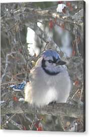 Cold Canadian Bluejay Acrylic Print