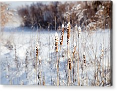Cold Cattails Acrylic Print