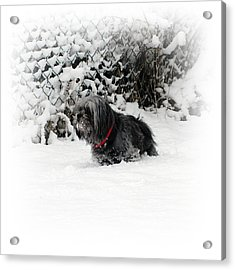 Cold Feet Acrylic Print by Sharon Lisa Clarke
