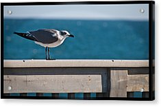 Cold Gull Acrylic Print