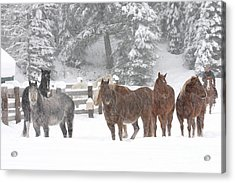Cold Ponnies Acrylic Print
