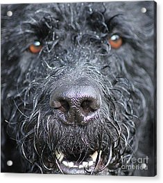 Cold Wet Nose Acrylic Print by Michelle Orai