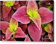 Coleus Colorfulius Acrylic Print by David Lawson
