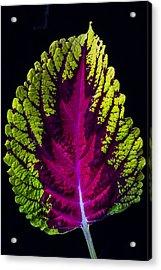 Coleus Leaf Acrylic Print by Garry Gay